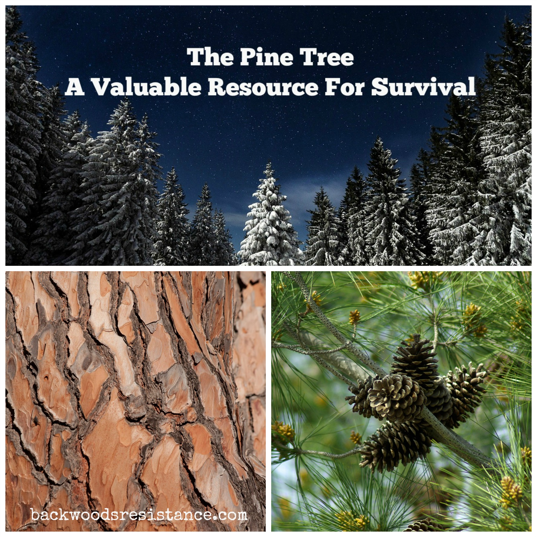 Pine Tree Survival Uses