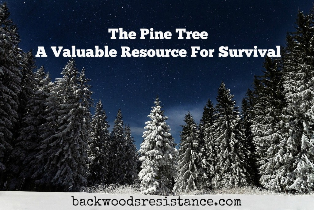 Survival Uses For Pine Trees
