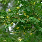 siberian-peashrub-plant-profile-1024x102411