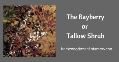The Bayberryor Tallow Shrub